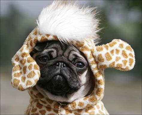 pugs in clothes stuff i find pugs in clothes