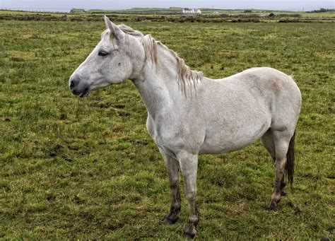 pony at west coast of ireland the renvyle peninsula connemara