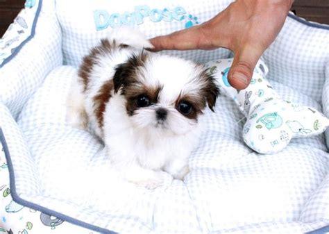 shih tzu micro micro tiny teacup shih tzu free teacup shih tzu maltese yorkies puppies hd
