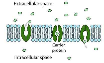 carrier protein facilitated diffusion diagram