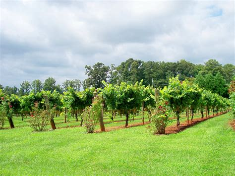 small backyard vineyard backyard vineyard 28 images small vineyard in backyard backyard pinterest