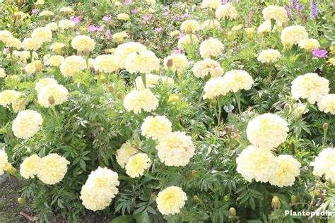 marigold color tagetes marigold flower information how to plant grow
