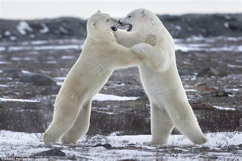 that looks like a polar polar bears appear to be boxing in stunning photographs