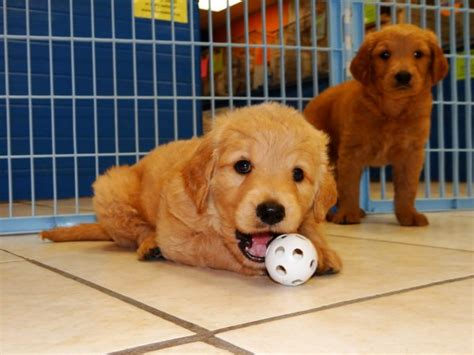 golden retriever puppies for sale ga loving golden retriever puppies for sale in at atlanta columbus johns creek