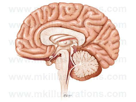 sagittal section of the skull mkillustrations medical illustrations