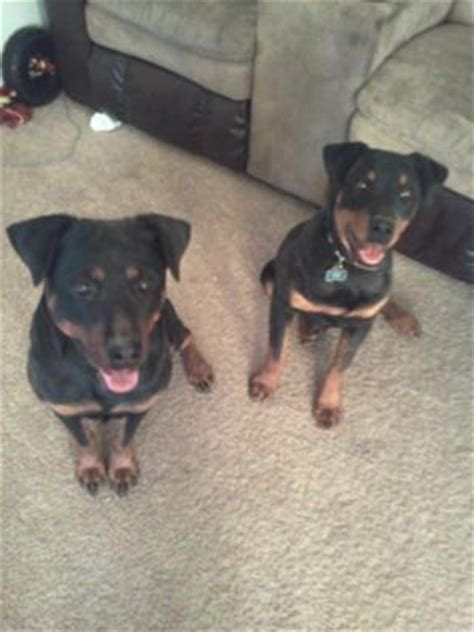 8 month rottweiler behavior 9 month puppy behavior a of rottweilers