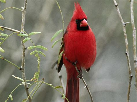 cardinal bird wallpapers wallpaper cave