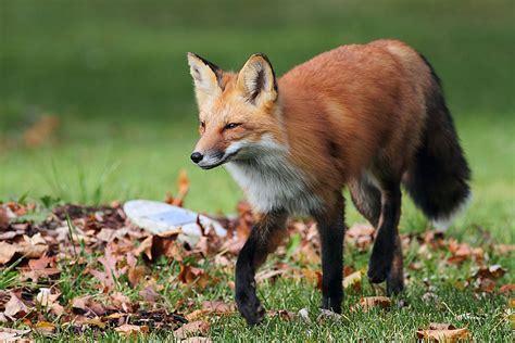 imagenes de zorros reales los seres vivos