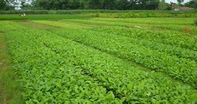 Bibit Sapi Jawa Barat bibit tanaman murah jual bibit jati di jawa barat