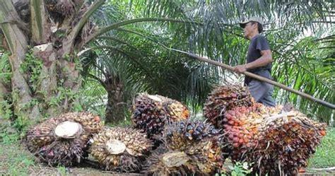 Biaya Pembersihan Lahan Kelapa Sawit Hitung Biaya Kebun Kelapa Sawit Kelapa Sawit