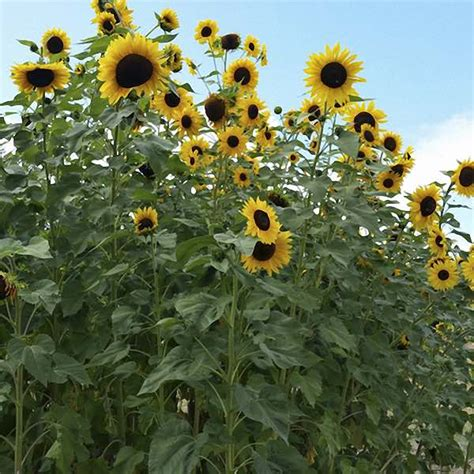 hopi black dye sunflower seeds sunflower seeds flower seed annual flowers