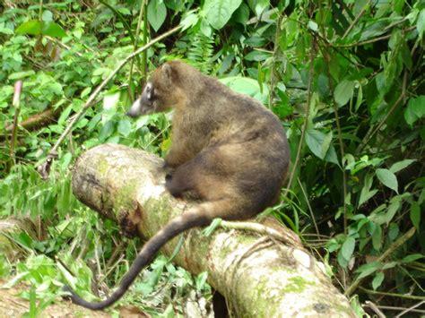 coati attack furry coati animals attack my granola bar in costa rica