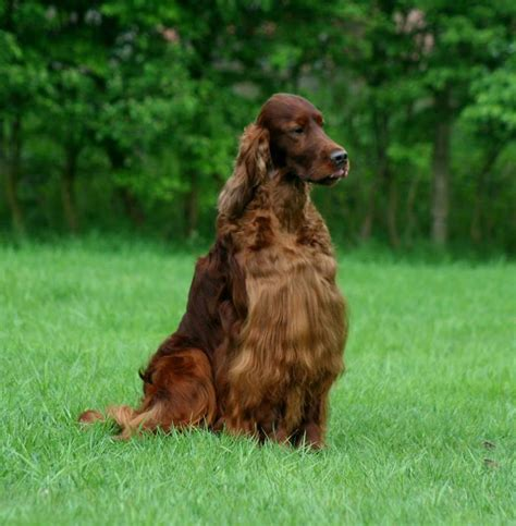 Irish Setter Dog Poisoned | chion irish setter dies from poisoned meat at crufts