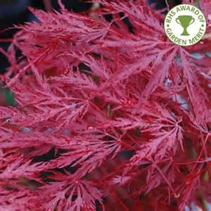 acer palmatum inaba shidare japanese maple trees