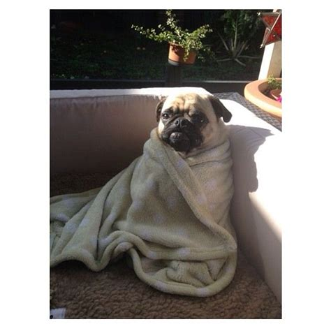 pugs in blankets pugs in a blanket for amanda