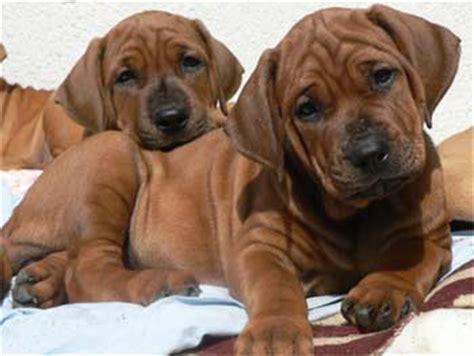 tosa inu puppies for sale tosa inu puppies for sale dogable