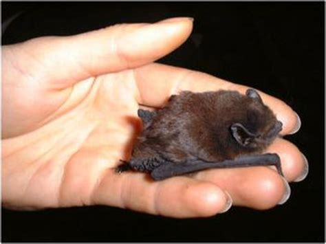 bat wings bat wings howstuffworks