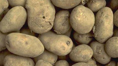 Kartoffeln Richtig Lagern 4999 by Kartoffeln Richtig Ernten Und Lagern Gabot De