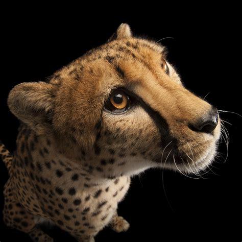 cheetah national geographic