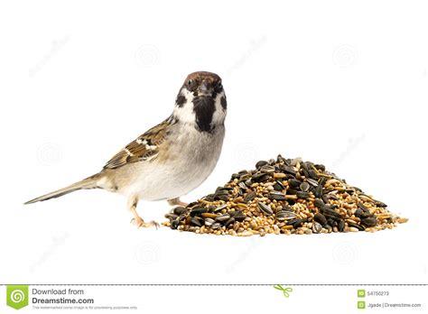 tree sparrow and bird seeds stock photo image 54750273