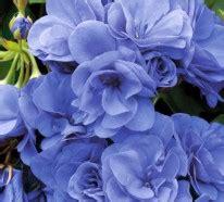 Schöne Eigenschaften by Pelargonien Als Zimmerpflanzen Sch 246 Nheit Und Eigenschaften