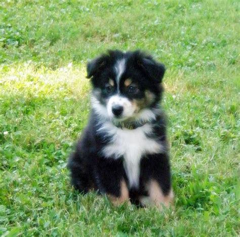 black australian shepherd puppy best 25 miniature australian shepherds ideas on miniature australian