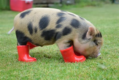 tops pig top 10 pictures of pigs in boots shoes