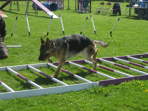 agility equipment for dogs agility equipment www imgkid the image kid has it