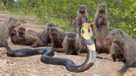 mongoose vs cobra snake mongoose killing a cobra www pixshark com images