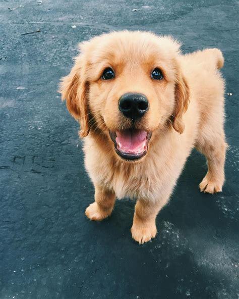 cute puppies golden retriever ideas  pinterest