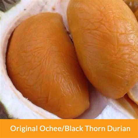 Bibit Tanaman Buah Durian Duri Hitam Ochee Up To 70 Cm jual bibit durian duri hitam durian balck durian ochee unggul cv mitra bibit