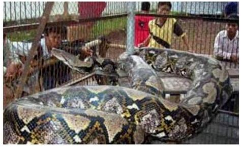 world biggest animal knot