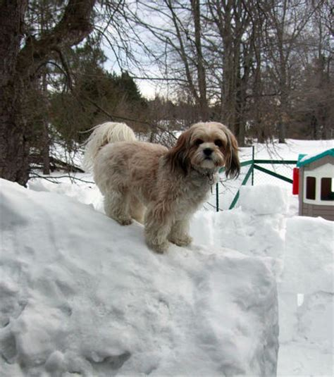 shih tzu puppies for sale in cleveland ohio shih tzu puppies for sale in ohio cleveland