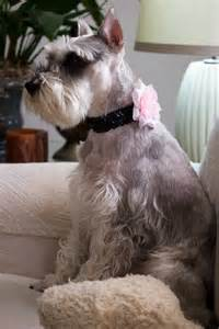 miniature schnauzer hair styles pictures miniature schnauzer haircut styles dog breeds picture
