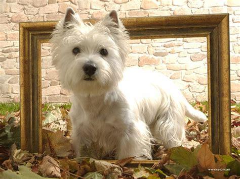 westies dogs food westies images