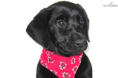 purebred black lab puppies meet ryker a labrador retriever puppy for sale for 200 purebred black lab