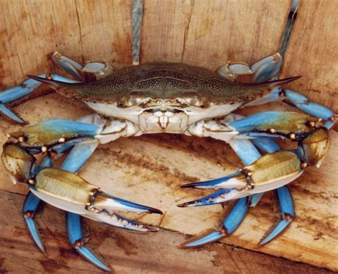 27 best images about blue crabs on pinterest crabs 29 best blue crabs images on pinterest blue crabs beach