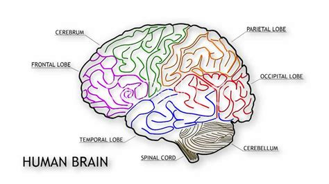 diagram of brain lobes simple diagram of human brain anatomy organ