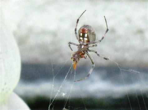 Garden Spider Spot Garden Spider Photos