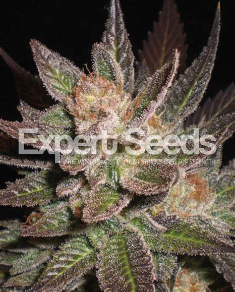 cannabis seed bank lavender 1 expert seed bank