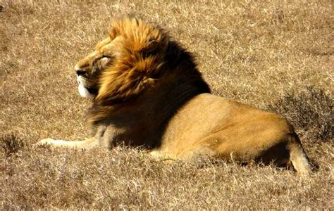 imagenes de unos leones unos leones rescatan a una ni 241 a secuestrada