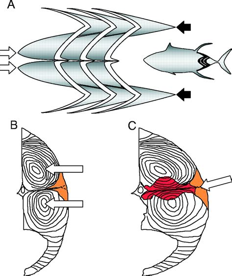 zk horizontal layout design of heterothermic muscle in fish journal of