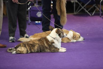 westminster show 2017 tv schedule 2017 westminster kennel club tv schedule canine chronicle