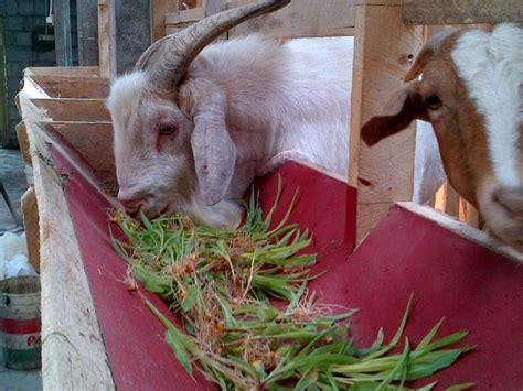 Fodder Jagung Pakan Ternak fodder jagung alternatif pakan hijauan bergizi tinggi