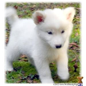 blooded wolf puppies for sale in white wolf polyvore