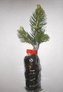 majestic spruce christmas tree majestic blue spruce picea pungens glauca tree plants ebay