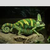 Chameleon Hindi | 2304 x 1728 jpeg 1034kB