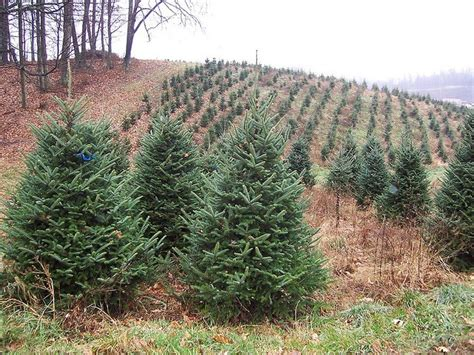 best real christmas trees in south jersey real vs artificial trees earth911