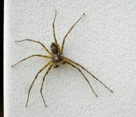 Com spider identification brown recluse brown recluse spider