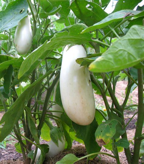 White eggplant plants   Vegetable Plants   Pinterest
